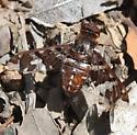 Exoprosopa - Exoprosopa caliptera