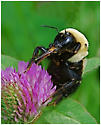 bee/fly with beak - Bombus griseocollis