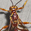 Giant Ichneumon Wasp - Megarhyssa greenei - male