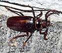 California Root Borer - Prionus californicus