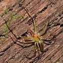 spider 958 - Lyssomanes viridis