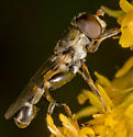 Black & Yellow Fly - Syritta pipiens - male