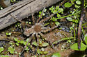 Wolf Spider with young - Arctosa littoralis - female