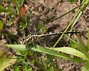 Plains Clubtail - Gomphurus externus