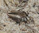 Efferia - Efferia albibarbis - female