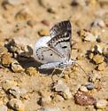 Day flying moth - Lomographa semiclarata