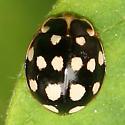 Polkadot Lady Beetle - Calvia quatuordecimguttata