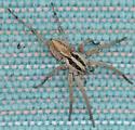 New spider for the summer. - Schizocosa
