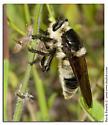 Bee like Robberfly - Mallophora bomboides