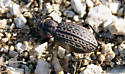 Ground Beetle? - Carabus maeander