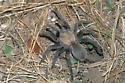 Oklahoma Brown Tarantula at Burrow - Aphonopelma hentzi