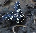 speckled moth - Pseudothyris sepulchralis