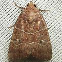 Grateful Midget - Hodges#9684 - Elaphria grata