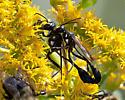 Eremnophila sp.? - Eremnophila aureonotata - male - female