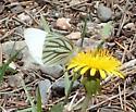 Pieris napi - Pieris oleracea