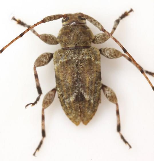Astylidius parvus (LeConte) - Astylidius parvus