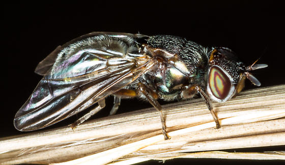 Fly Ovipositing - Senopterina foxleei - female