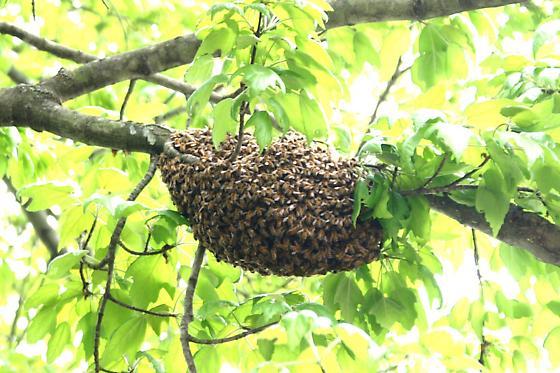 Swarming Bees - Apis mellifera
