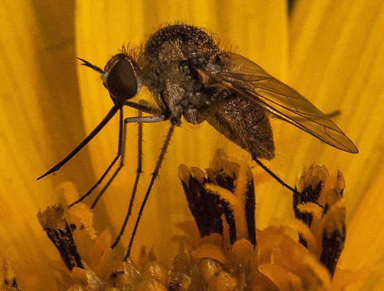 Bee fly (Geron sp.) - Geron