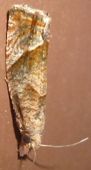Olethreutinae? - Pelochrista derelicta