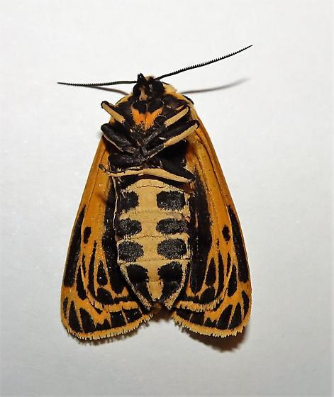 Grammia virguncula - Little Virgin Tiger Moth  - Grammia virguncula