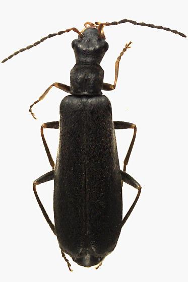 Soldier Beetle - Dichelotarsus piniphilus