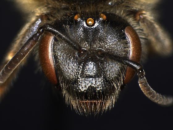 Lasioglossum titusi - female
