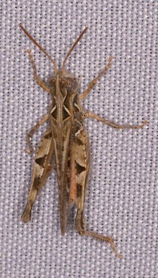 Acrididae - Psoloessa texana - male