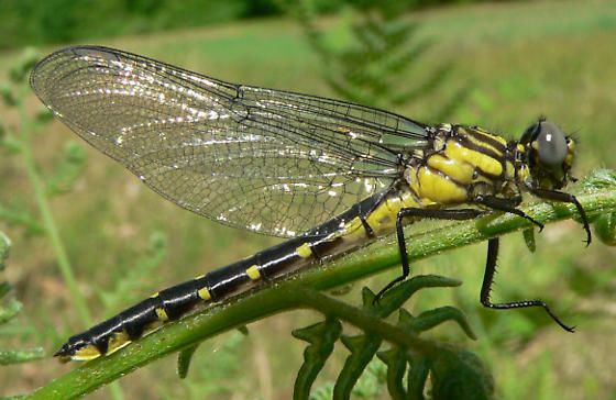 Spine-crowned Clubtail - Hylogomphus abbreviatus - female