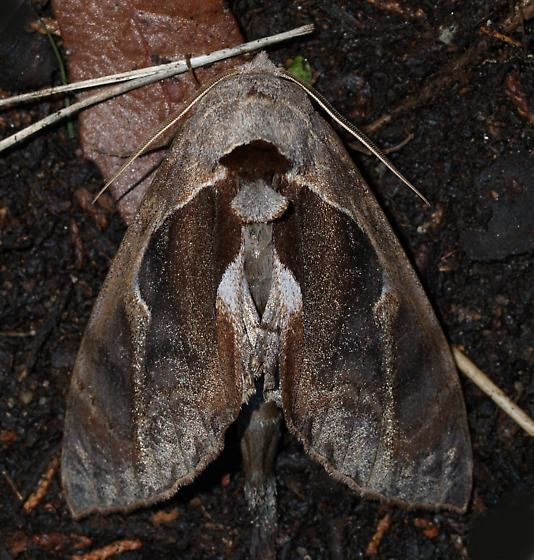 Black light  - Crinodes biedermani