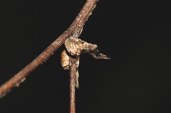 Triangle spider web - Hyptiotes cavatus - female