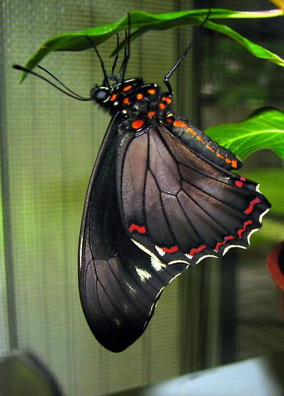 Male or Female Polydamas - Battus polydamas