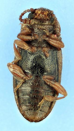 Hairy Fungus Beetle? - Cryptophilus seriatus