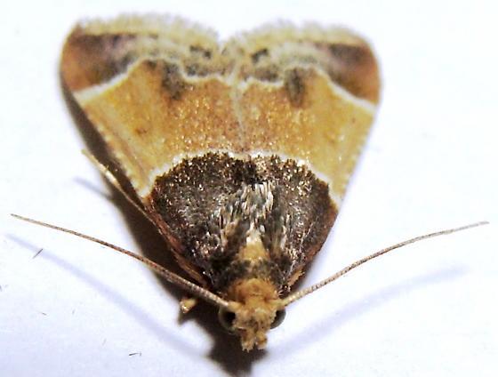 Pyralid - Meal Moth - Pyralis farinalis