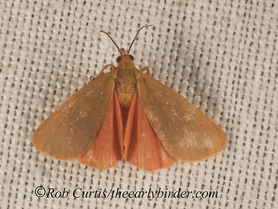 9051378 moth - Virbia immaculata