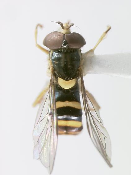 Syrphidae - Sphaerophoria contigua - male