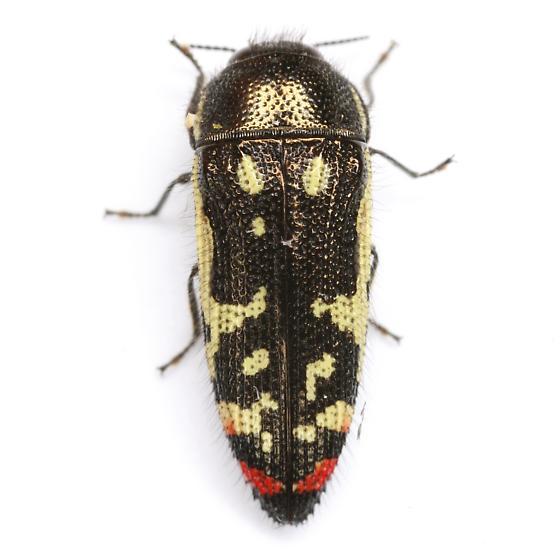 Acmaeodera amabilis Horn - Acmaeodera amabilis