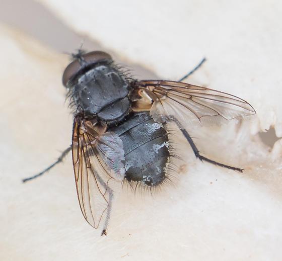 fly on deer skeleton - Pollenia - male