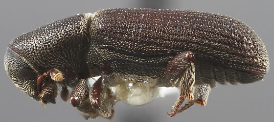 Hylastes gracilis