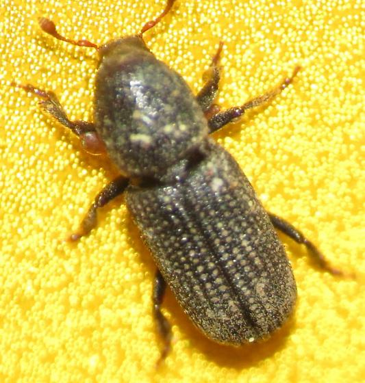 Beacon Rock Beetle - Hylastes