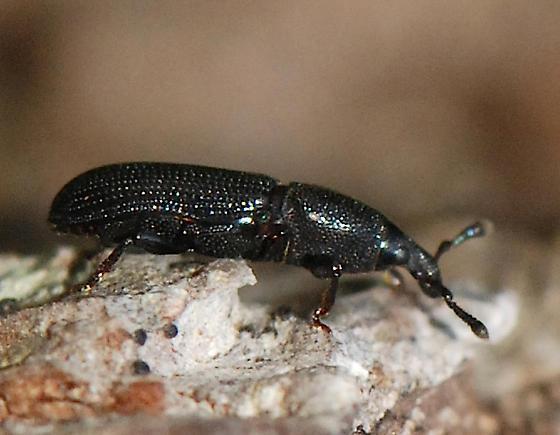 beetle - Cossonus