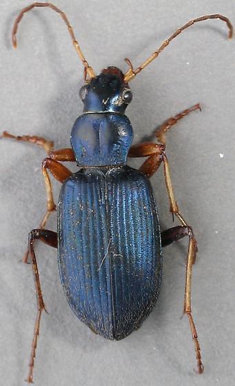 Leaning more to leucoscelis than cumatilis - Chlaenius leucoscelis