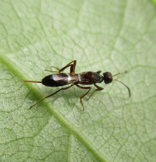 Potential Eupelmidae - female