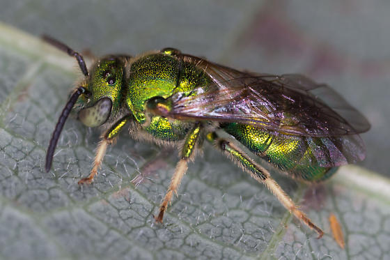 Green Metallic Sweat Bee - Augochloropsis metallica - male