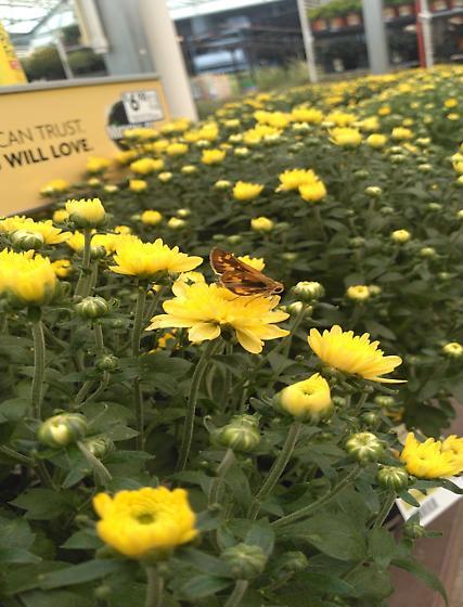 Lepidoptera  - Hylephila phyleus - female
