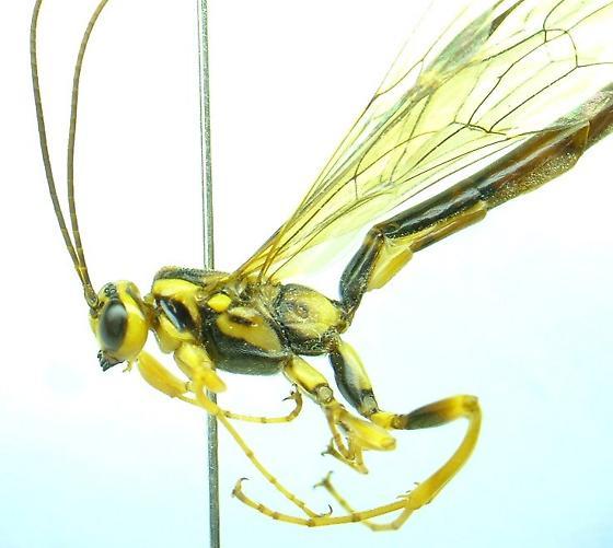 Ichneumonid - Megarhyssa - male