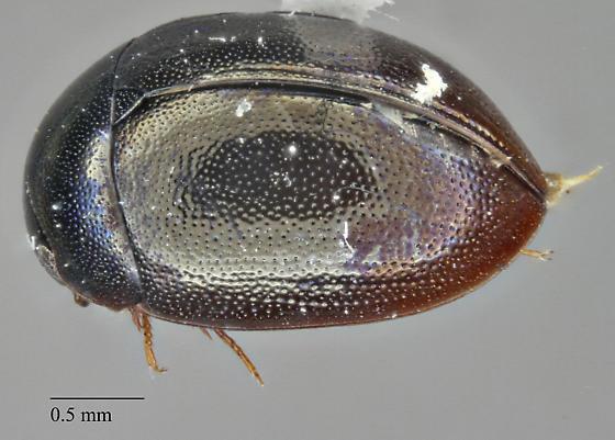 Hydrophilidae: Anacaena sp.?