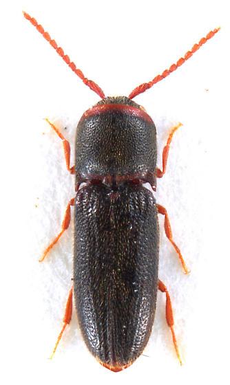 Rhagomicrus humeralis