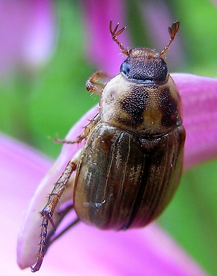 Oriental Beetle - Exomala orientalis