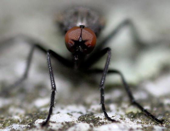 Fly 3 - Rhamphomyia - male